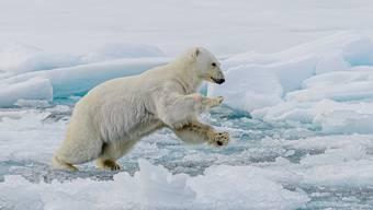 Noch schlimmer als der Klimawandel sind die Jäger für die Eisbären.