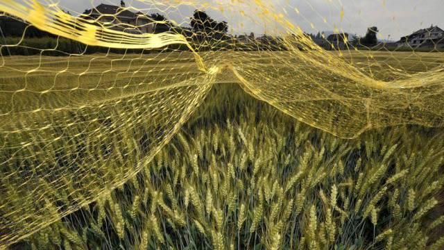 Ein Feld mit gentechnisch verändertem Weizen in Pully (Archiv)
