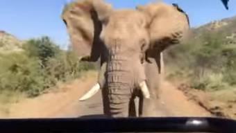 Erst zottelt er ja davon, dann doch wills der Elefant wissen ...