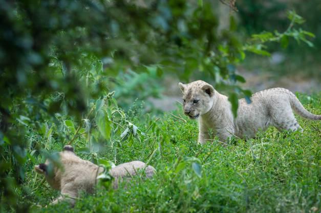 Zwei Löwenwelpen - sie haben wie das dritte Neugeborene denselben Vater, den 13-jährigen Mbali.
