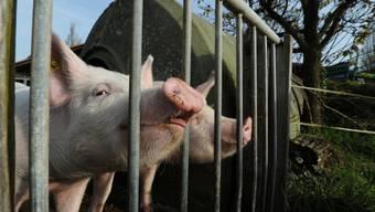 Zweifel an der tiergerechten Haltung der Schweine (Symbolbild)