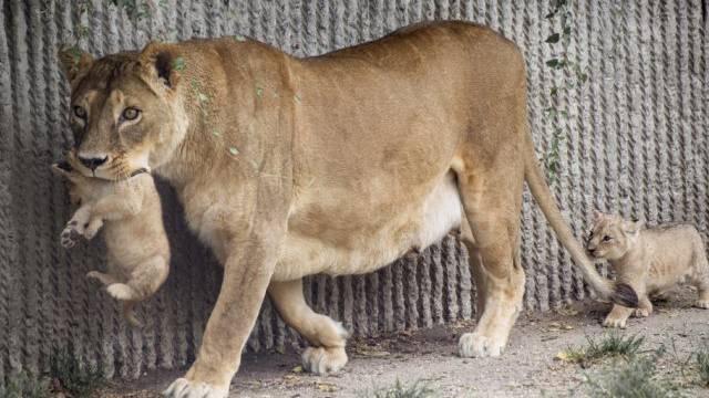 Eine Löwin mit zwei Jungen (Symbolbild)
