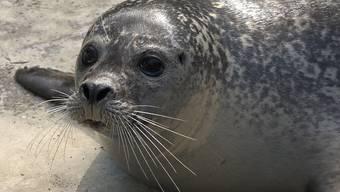 Seehunde – Robben generell – sind spielerisch veranlagt, neugierig und interessiert. Diese Eigenschaften lassen sich gezielt nutzen, um erwünschtes Verhalten zu fördern.