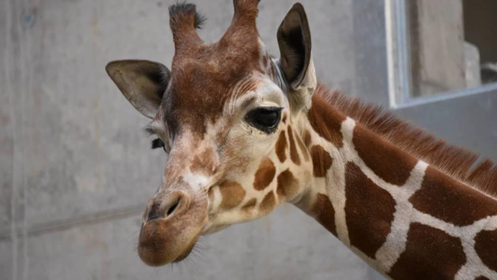 Drei Giraffen bereiten sich auf Leben in Zürich vor