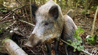 Das Wildschweinmanagement hat Wirkung gezeigt. (Symbolbild)