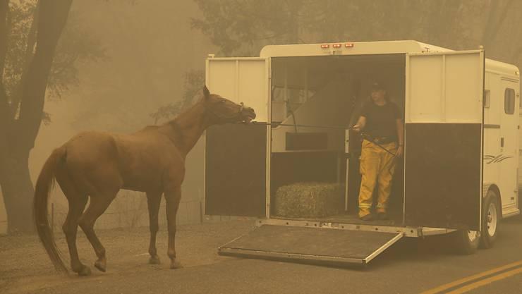 In Kalifornien wüten derzeit heftige Waldbrände. Bewohner müssen ihre Häuser verlassen und nehmen die Tiere im Autoanhänger mit. Nicht selten fürchten sich die Tiere vor dem Feuer und scheuen.