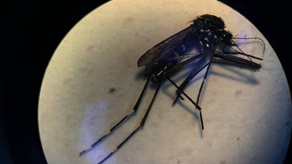Asiatische Tigermücken in Schaffhausen nachgewiesen