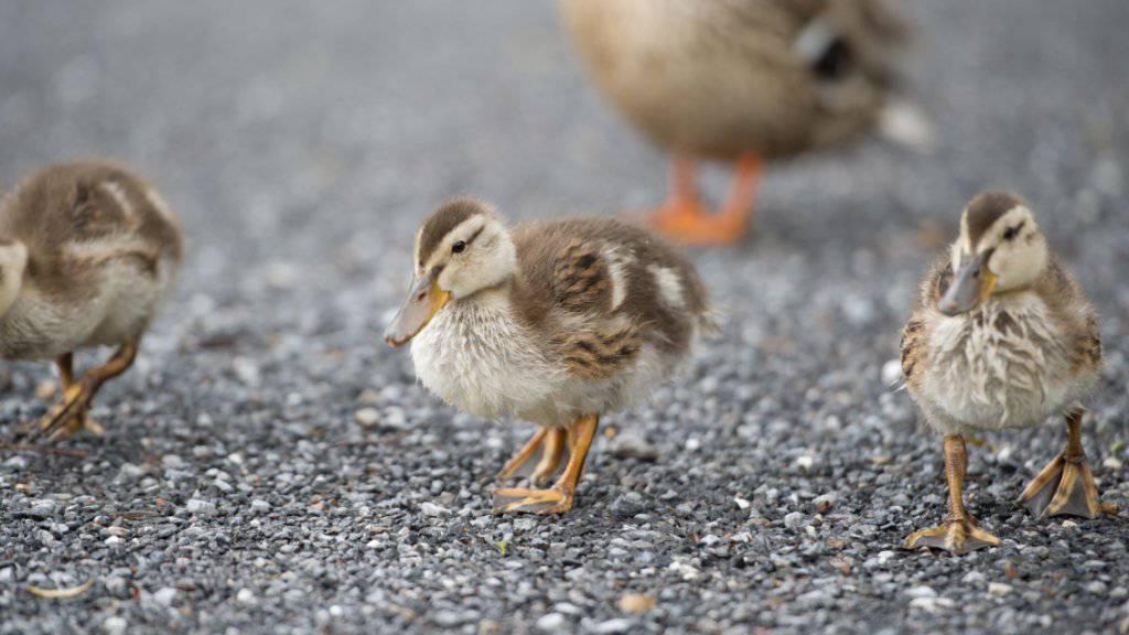Eine Entenmutter mit ihren vier Küken hat am Samstagmorgen den Verkehr auf der Autobahn bei Dortmund vorübergehend lahmgelegt. (Symbolbild)