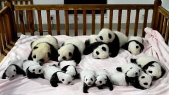 Die 14 jungen Pandabären der erfolgreichen Zuchtstation