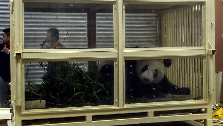 Das junge Riesenpanda-Weibchen Nuan Nuan wird wegen Platzmangels im Zoo von Malaysia nach China ausgeflogen.