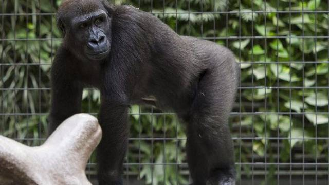 Gorilladame Enea war seit zwei Monaten krank (Bild: Zoo Basel)