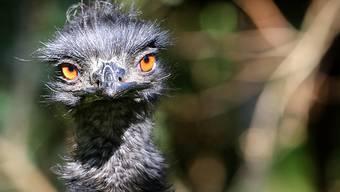 ARCHIV - Ein Emu beobachtet in seinem Außengehege Zoobesucher. Foto: picture alliance / dpa