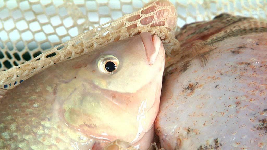 Balterswiler Fischzucht aufgelöst