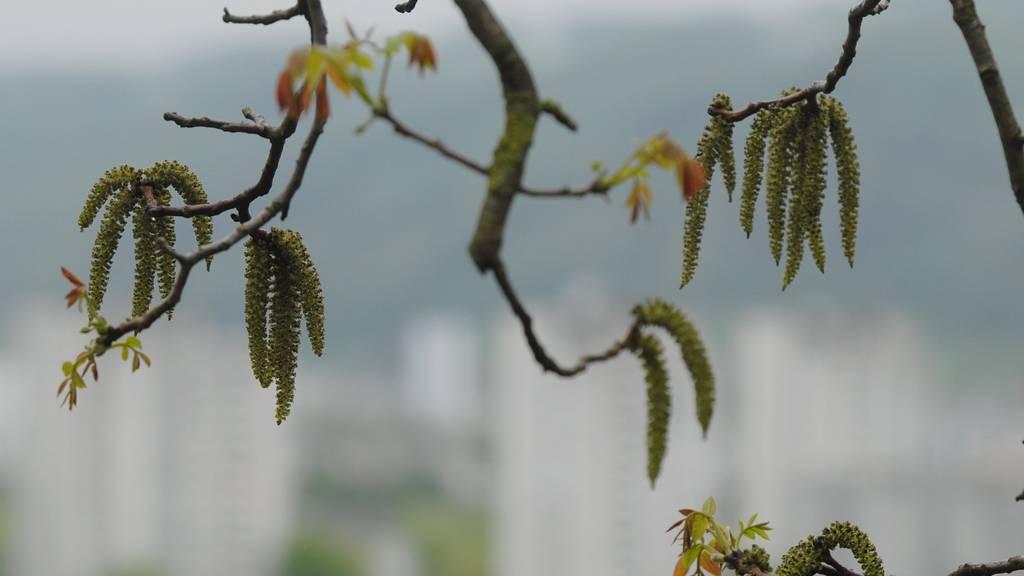 Pollen statt Schnee: Im Mittelland blüht bereits die Hasel