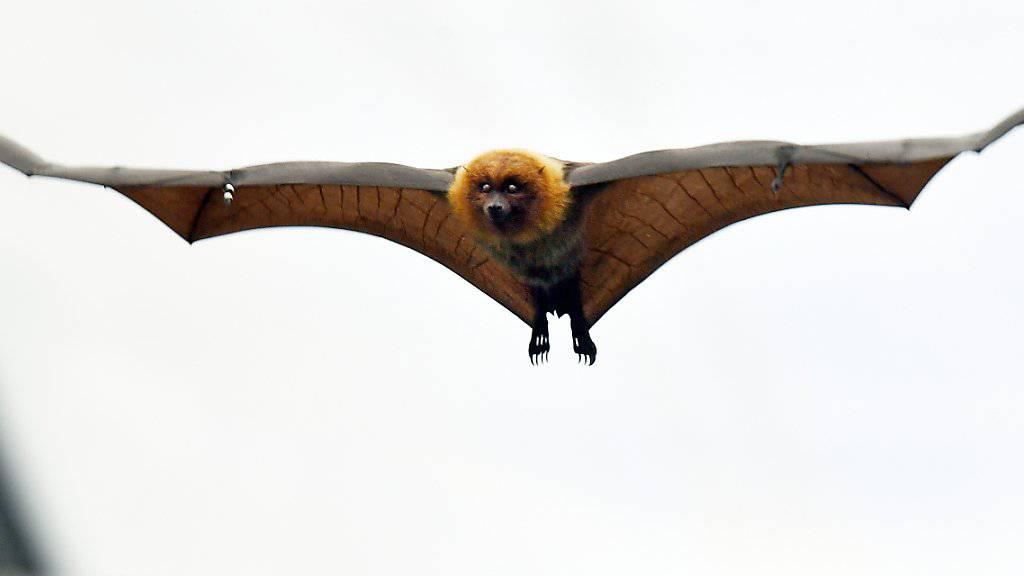 Mit einer Spannweite von bis zu 90 Zentimetern können Rodrigues-Flughunde weite Strecken zurücklegen.