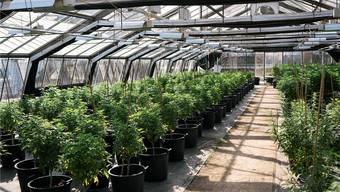 Demnächst soll es im Leimental den ersten Treibhaus-Cannabis der Region geben. Keystone