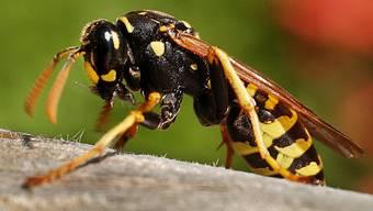 Wespen können gefährliche Tiere sein, wie die Attacke gegen eine Schulklasse zeigt.