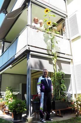 Das ist sie; die wohl höchste Sonnenblume der Region
