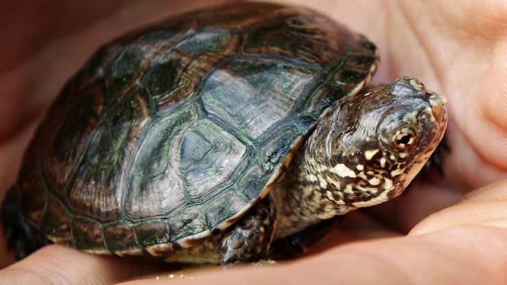 Im Kanton Genf sind erstmals junge Europäische Sumpfschildkröten gefunden worden, die von in der Schweiz wieder angesiedelten Tieren dieser Art abstammen. Das Archivbild zeigt ein Jungtier aus dem Zürcher Zoo.