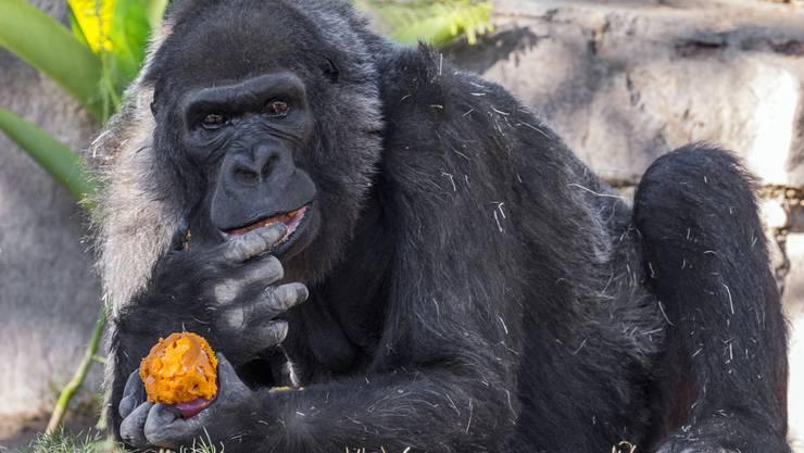 Die Gorilla-Dame Vila ist im San Diego Zoo Safari Park mit 60 Jahren gestorben. Gorillas werden gewöhnlich nur zwischen 35 und 40 Jahre alt. (Archivbild)