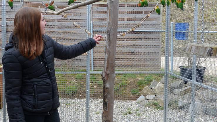 Vogelpark Ambigua in Zeihen startet in die vierte Saison: Pflegerin Naomi bei den unzertrennlichen Agaporniden, den verspielten Neuzugängen im Vogelpark Zeihen.