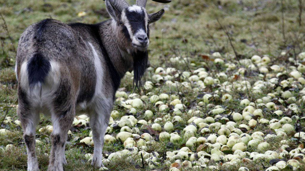 Ohne Gegenwehr liess sich der Ziegenbock nicht in Gewahrsam nehmen. (Archivbild)