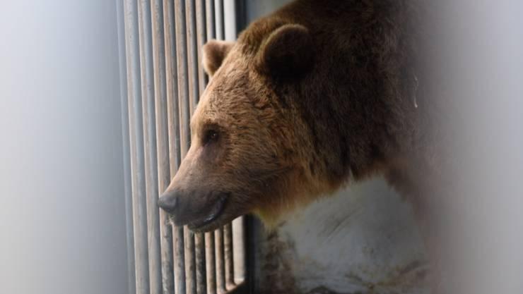 Die Bären sind wieder da: Björk, Finn und Ursina sind am Montag nach ihren Sommerferien im Juraparc in Vallorbe wieder in den Berner Bärenpark zurückgekehrt.