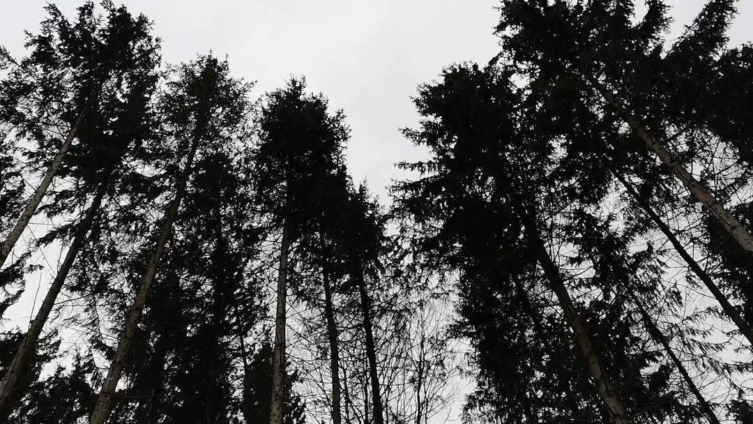 Hauptstrasse Wohlen-Bremgarten: wankende Tannen im stürmischen Wind im Bremgarter Wald.