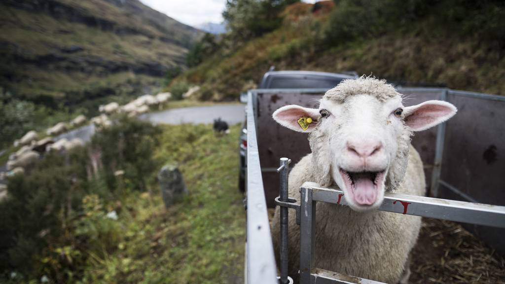 Wolf tötet Schaf im Kanton Schwyz