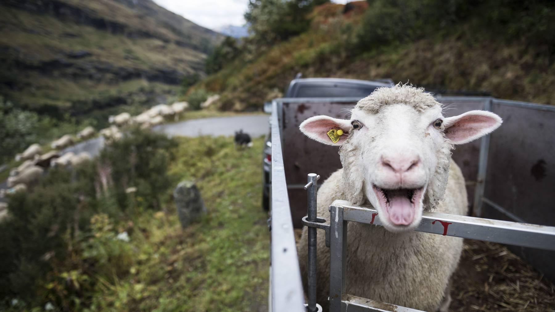 Im Kanton Schwyz hat ein Wolf ein Schaf gerissen. (Symbolbild)