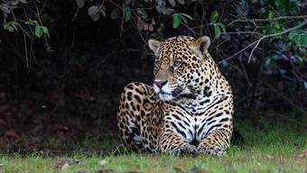 Männliche Jaguare beanspruchen ein Revier von 25 bis zu 150 Quadratkilometern.