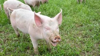 Bei Schweinen verläuft die Krankheit oft tödlich. Im Bild ein gesundes Bio-Säuli.