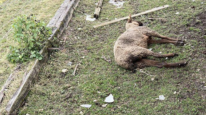 In einem Betrieb in Oftringen AG hat die Polizei am Dienstag mehrere schlecht gehaltene oder bereits tote Tiere entdeckt. Der Halter ist wegen Tierquälerei vorbestraft.