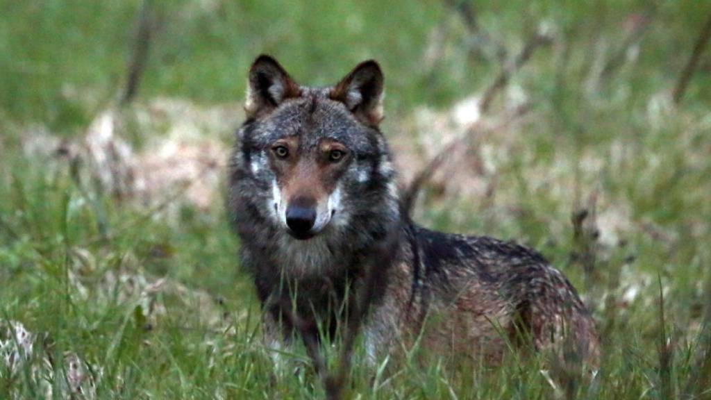 Mehr Jäger sollen Wölfe abschiessen dürfen