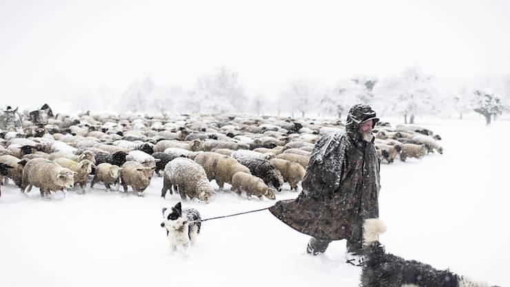 Seit 27 Jahren ist Franco Vitali als Wanderhirte unterwegs. Die Zahl der Hirten, die mit ihren Schafen in den Wintermonaten durch das Unterland ziehen, nimmt jedes Jahr ab. (KEYSTONE/Gian Ehrenzeller)