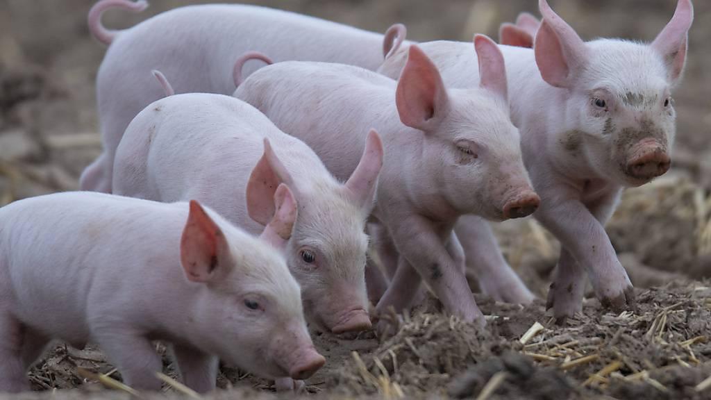 Nutztiere erhalten immer weniger Antibiotika: Ferkel im Freien. (Archivbild)