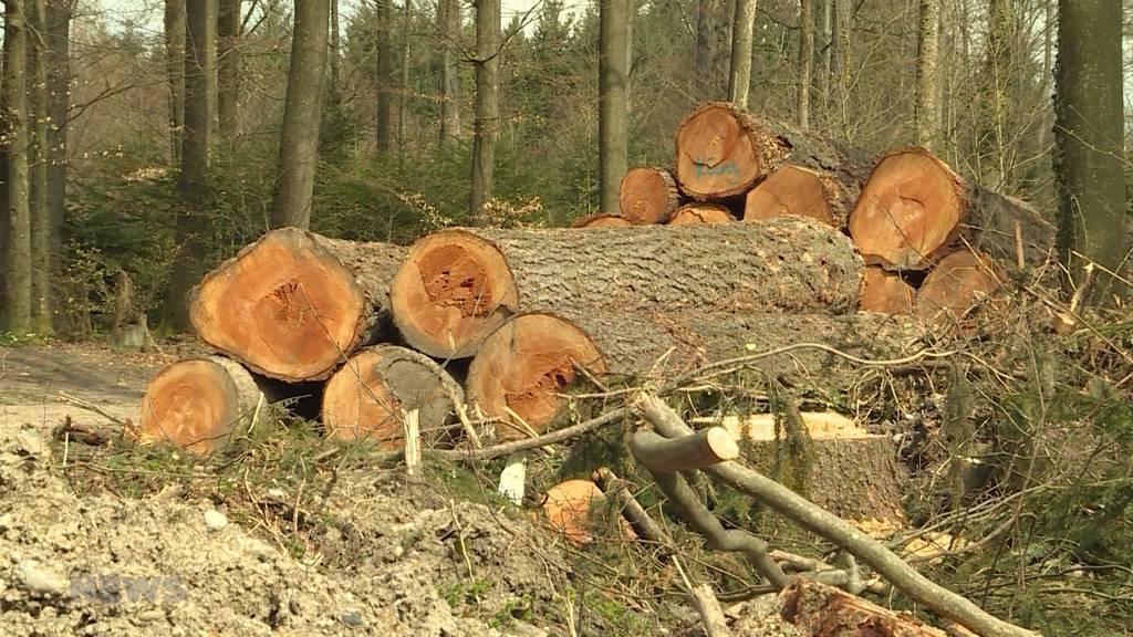 Borkenkäfer: Plage der Berner Wälder