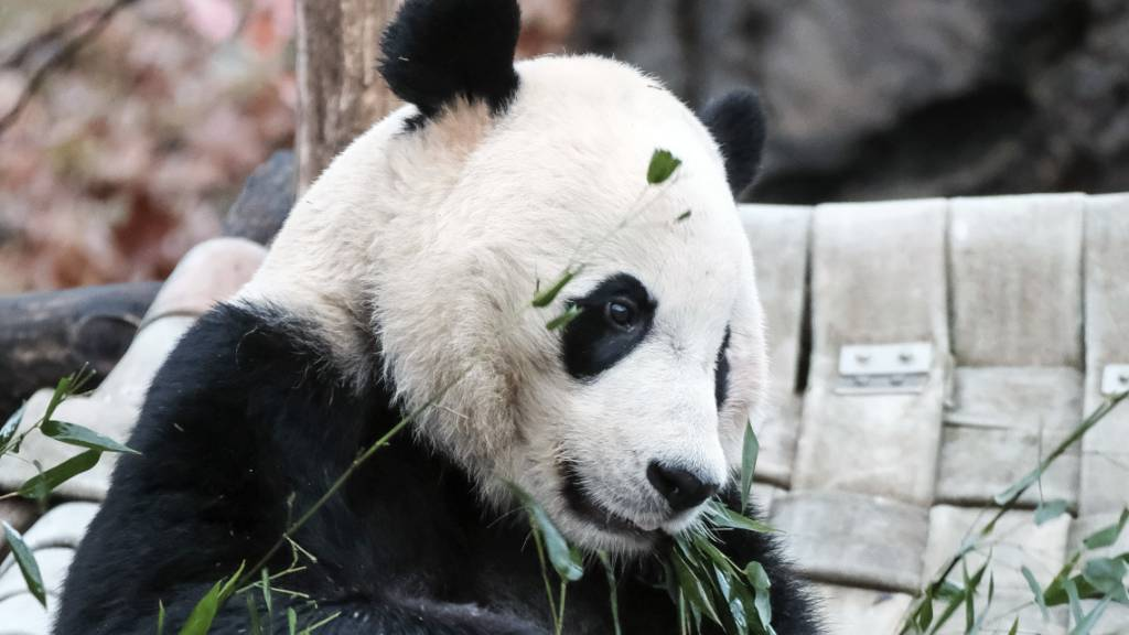 Panda aus Washingtoner Zoo tritt Reise nach China an
