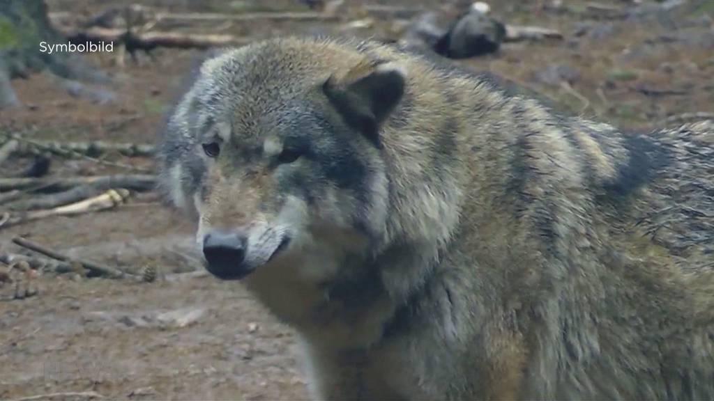 17 Schafe gerissen: Wolf im Gantrischgebiet soll vergrämt werden