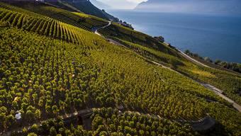 Eine aussergewöhnliche Weinernte hat das heisse und trockene Jahr 2018 gebracht. Im Bild Traubenlese im Lauvaux am Genfersee. (Archivbild)