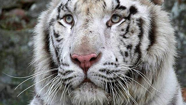 Weisser Tiger in einem Zoo in Belgrad (Archiv)