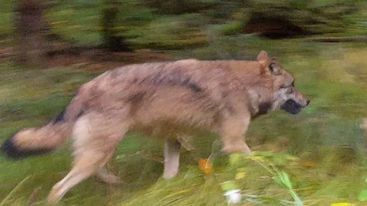 Im Kanton Graubünden machen Wölfe nun auch Jagd auf grosse Nutztiere – in aktuellen Fall ein ausgewachsener Esel. (Symbolbild)