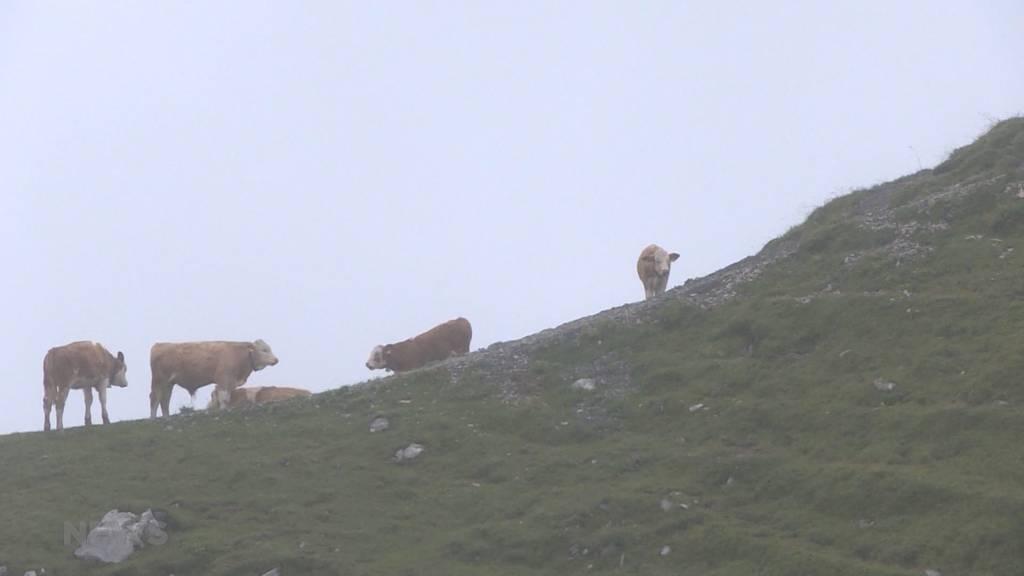 Vorgezogener Alpabzug wegen Kälteeinbruch auf der Engstligenalp