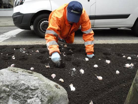 Ganz nah am Verkehr - die Blumenzwiebeln werden gesteckt