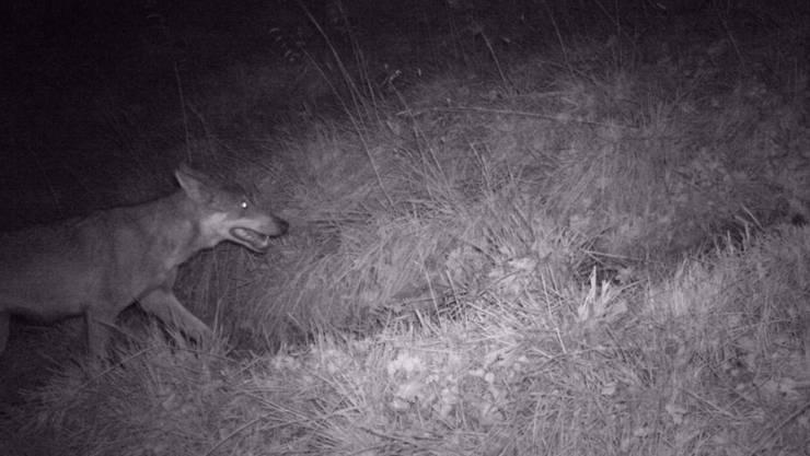 Um herauszufinden, ob Wolf und Wölfin tatsächlich ein Paar bilden, muss man sie ein Jahr lang zusammen beim Jagen beobachten.