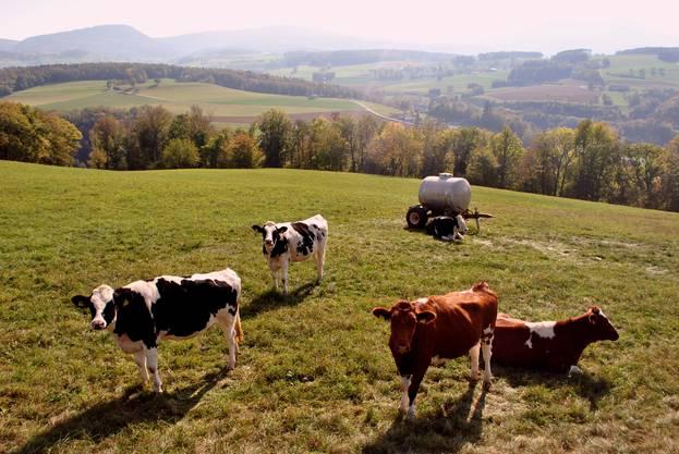 Diese Rinder geniessen oberhalb von Hornussen das spätsommerliche Wetter.