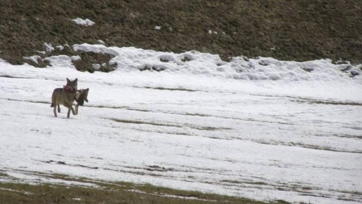 Die Identität des am vergangenen Weihnachtstag nachgewiesenen Wolfes in Liechtenstein ist geklärt. Es handelt sich um die Wölfin F30 aus dem Calandarudel bei Chur. (Symbolbild)