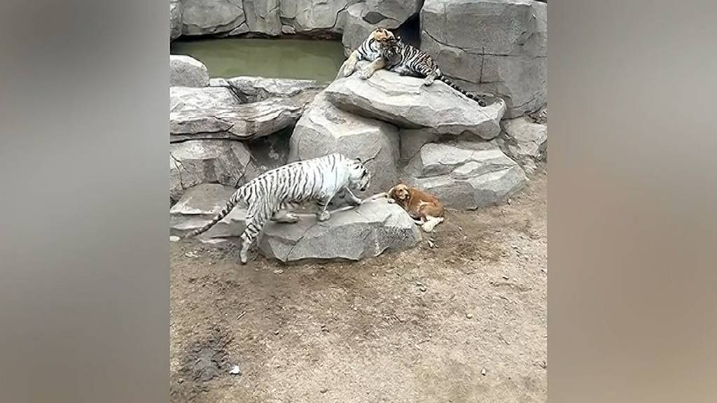 Was macht dieser Hund im Tiger-Gehege?