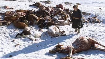 Der Winter ist zu hart für die viele Tiere: Verschwinden die Viehherden, so sind die mongolischen Nomaden ohne Lebensgrundlage. (Archiv)