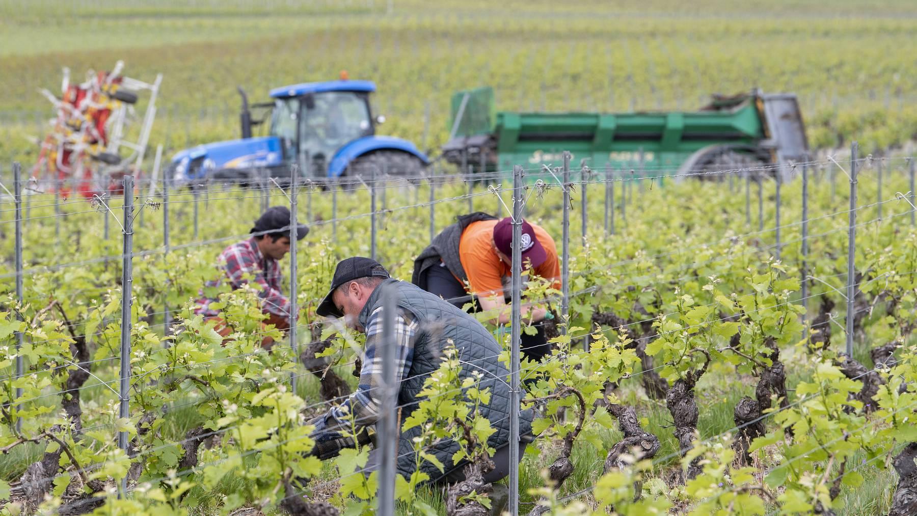 2018 wurde viel geerntet, 2020 wenig verkauft: Der Schweizer Weinmarkt ist aus dem Lot geraten.